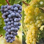 Pair Grapevines 1L – Supaga and Zilga