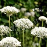 Allium nigrum Size:10/12 pack of 10 bulbs