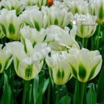 Tulip viridiflora Spring Green pack of 10 bulbs
