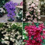 Pair Boulevard Patio Clematis – mixed colours