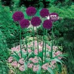 Plant-O-Mat Classic Allium Mix 45 bulbs